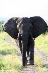 vorrei-elefante