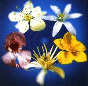 fiori-bach